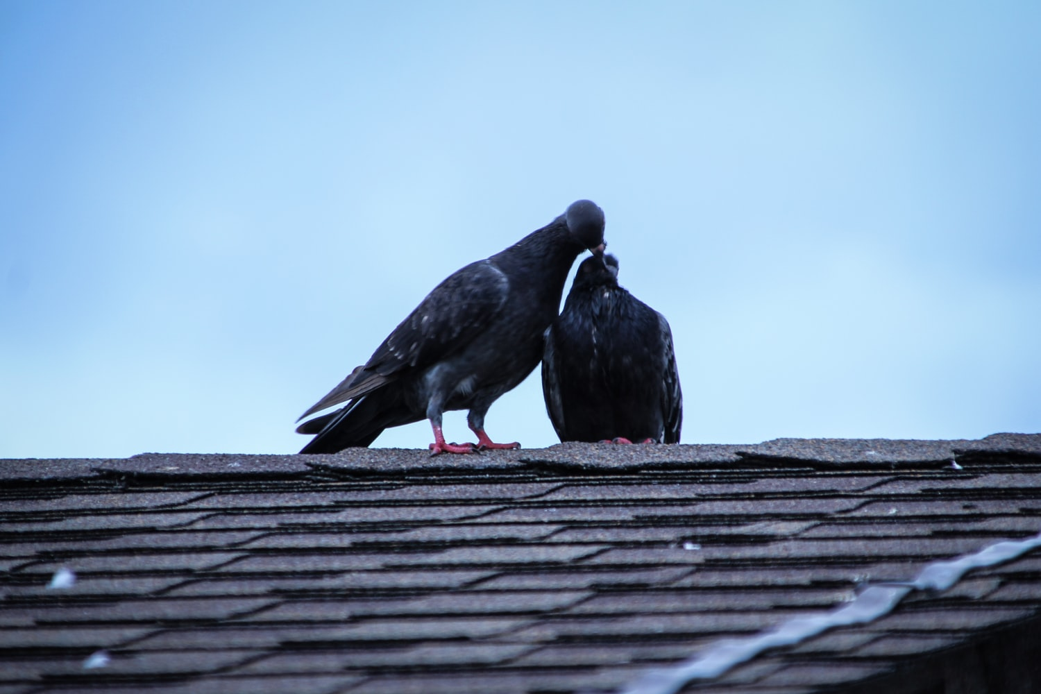 2 pigeons kissing on the roof