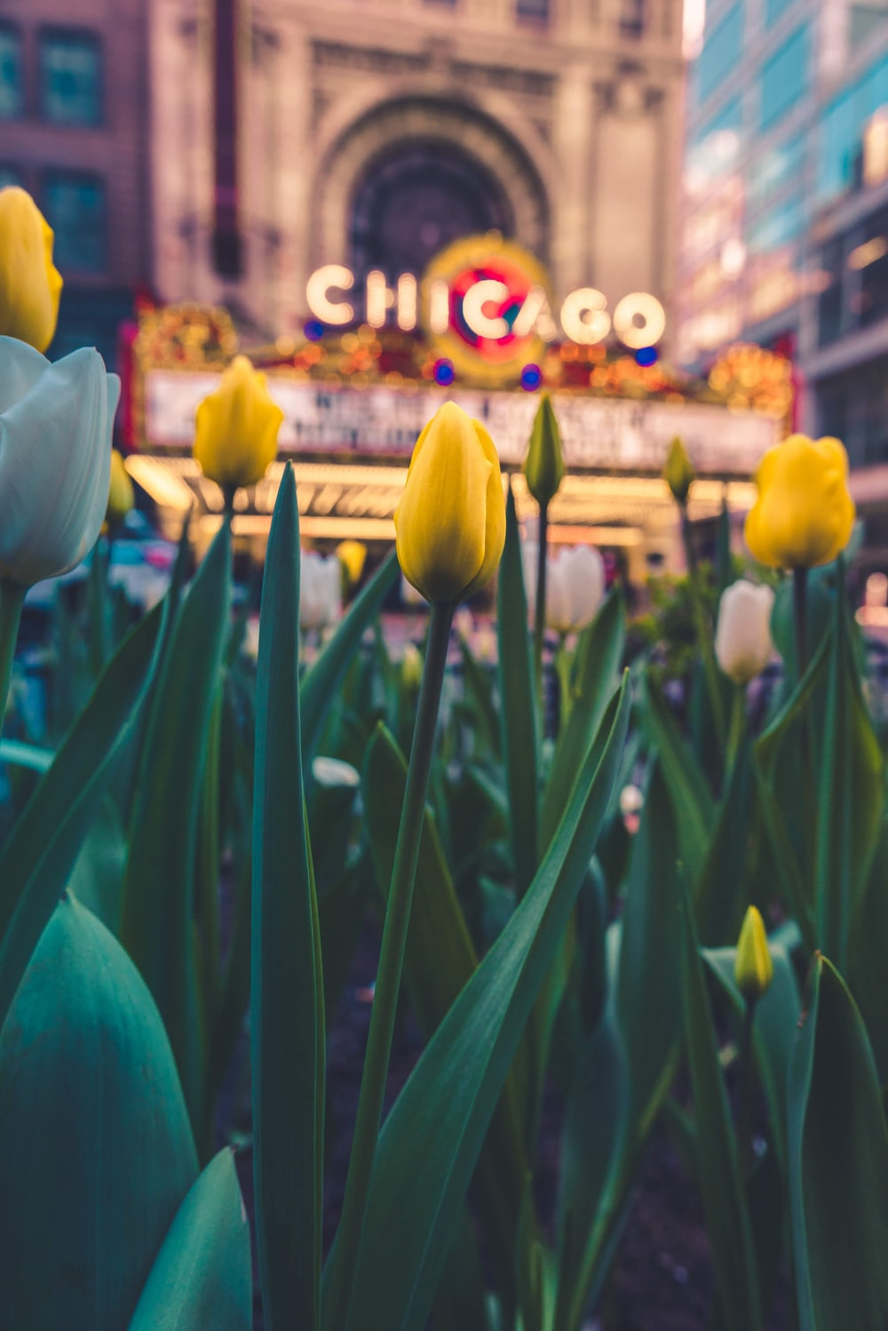 yellow tulip flowers across Chicago sign