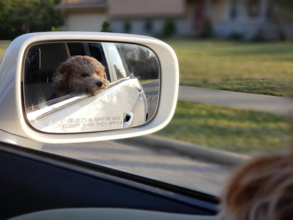 brown dog inside car