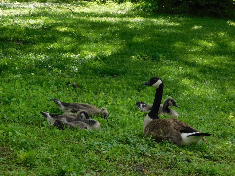 gray-and-black geese on green grass