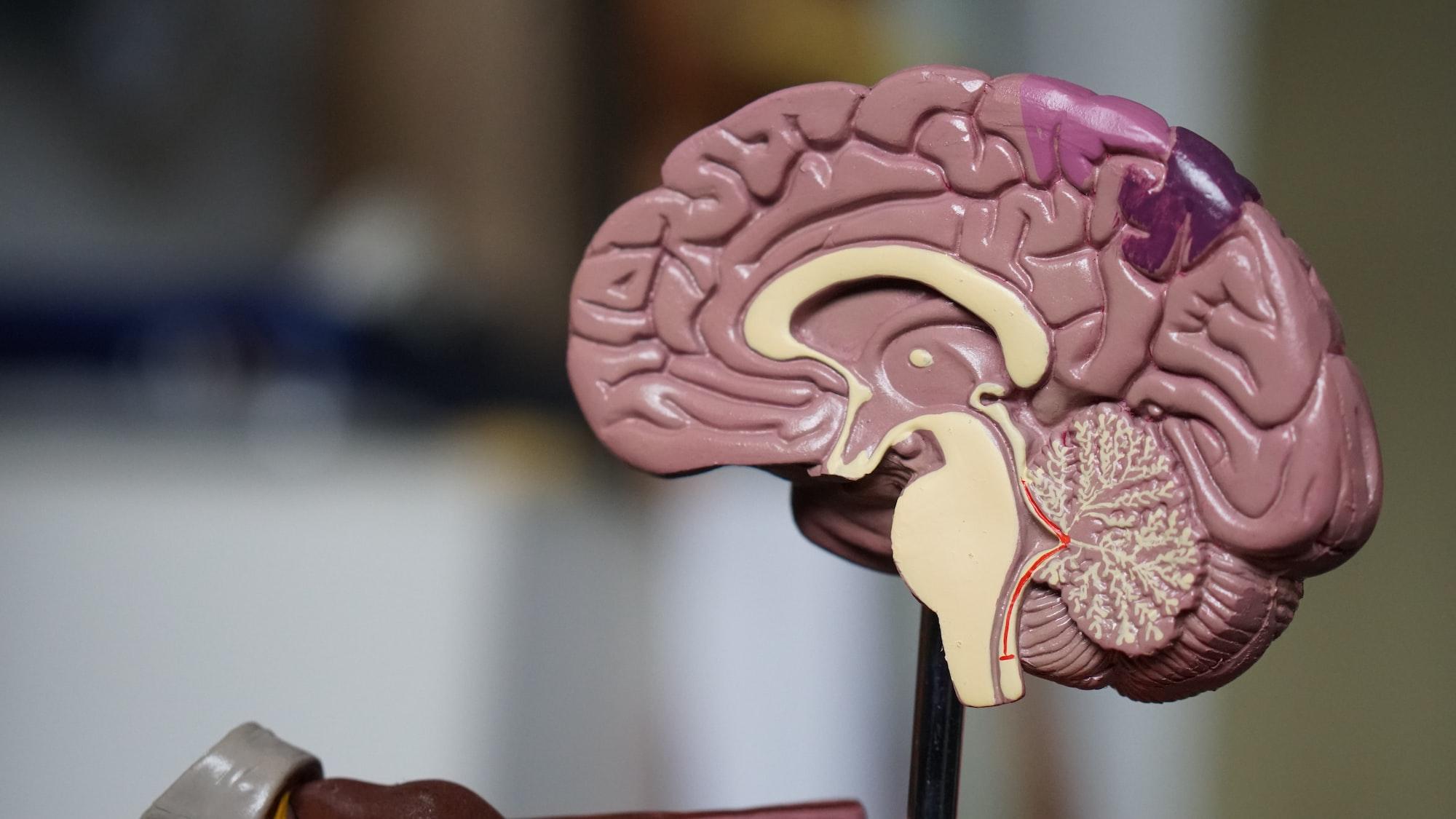 Creierul sub lupă. Modelul creierului triun