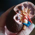kidney scale model in hand