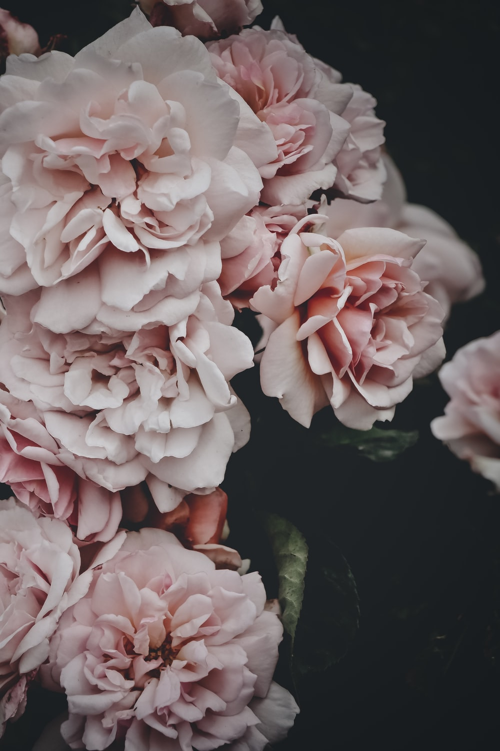 shallow focus photography of pink and white flowers