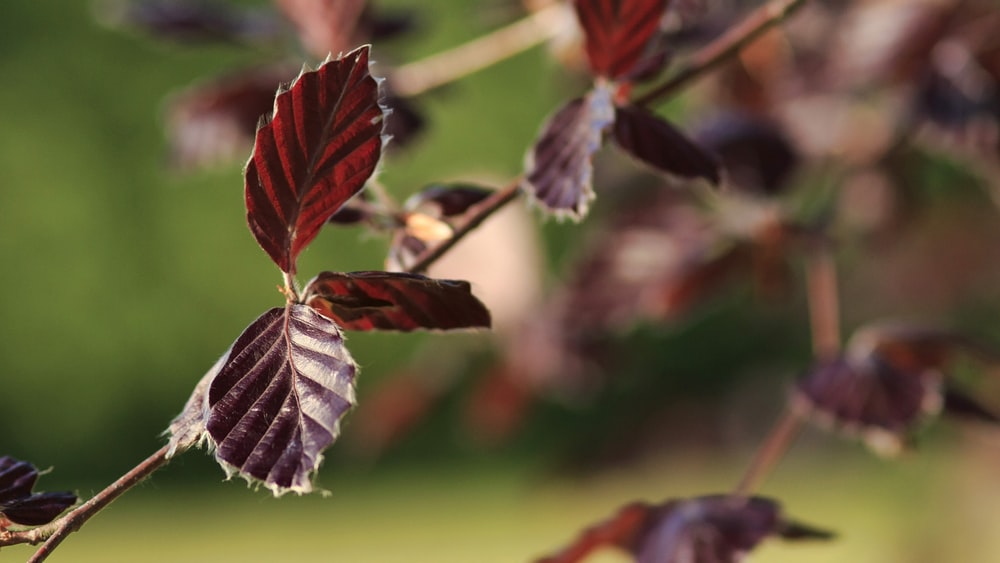 selective focus photography of red leaves during daytime