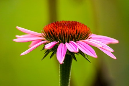 Growing Echinacea