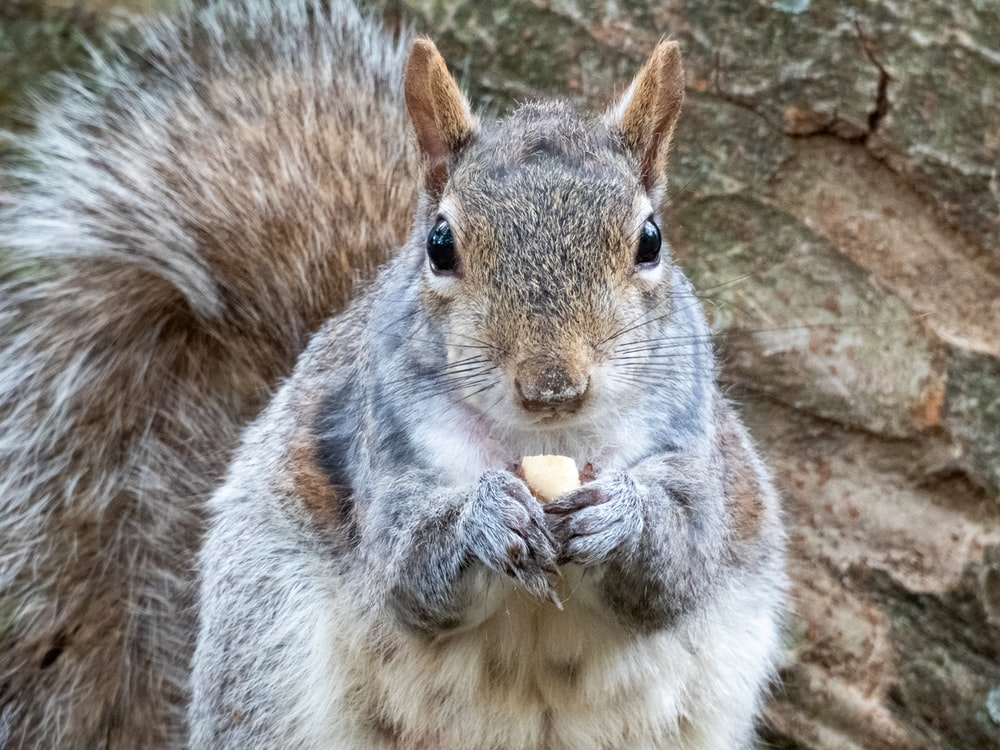 brown squirrel in close-up photography