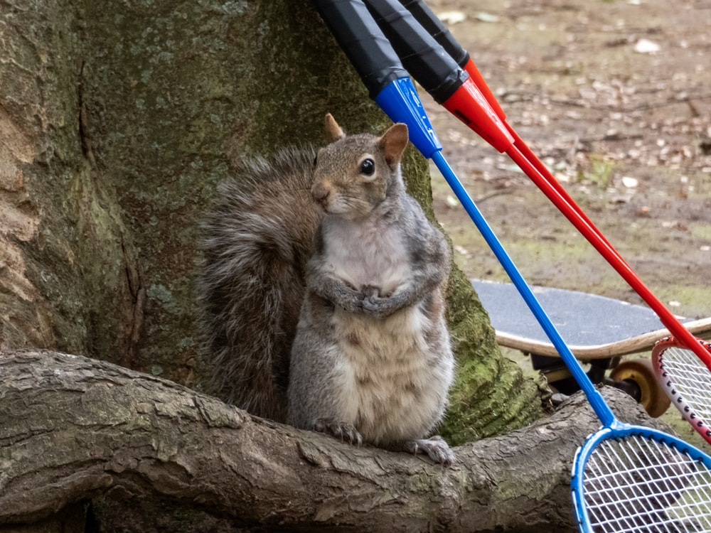 squirrel beside three badminton rackets