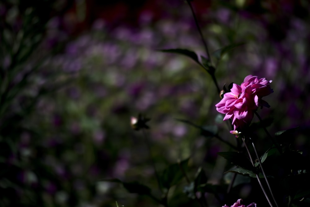 selective focus photo of pink-petaled flower