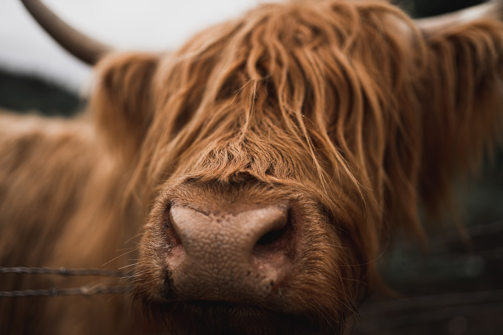 brown yak photography