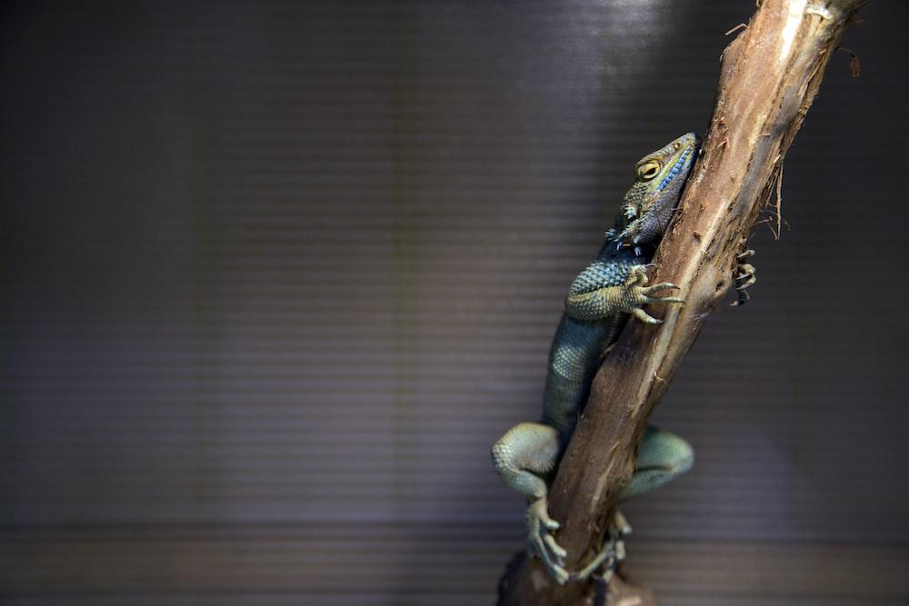 gray bearded dragon on brown stick