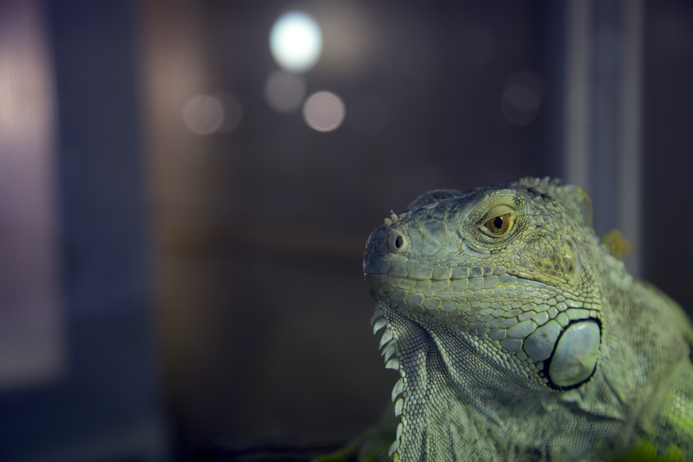 close view of green iguana
