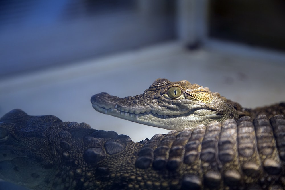 close-up photography of two brown alligators
