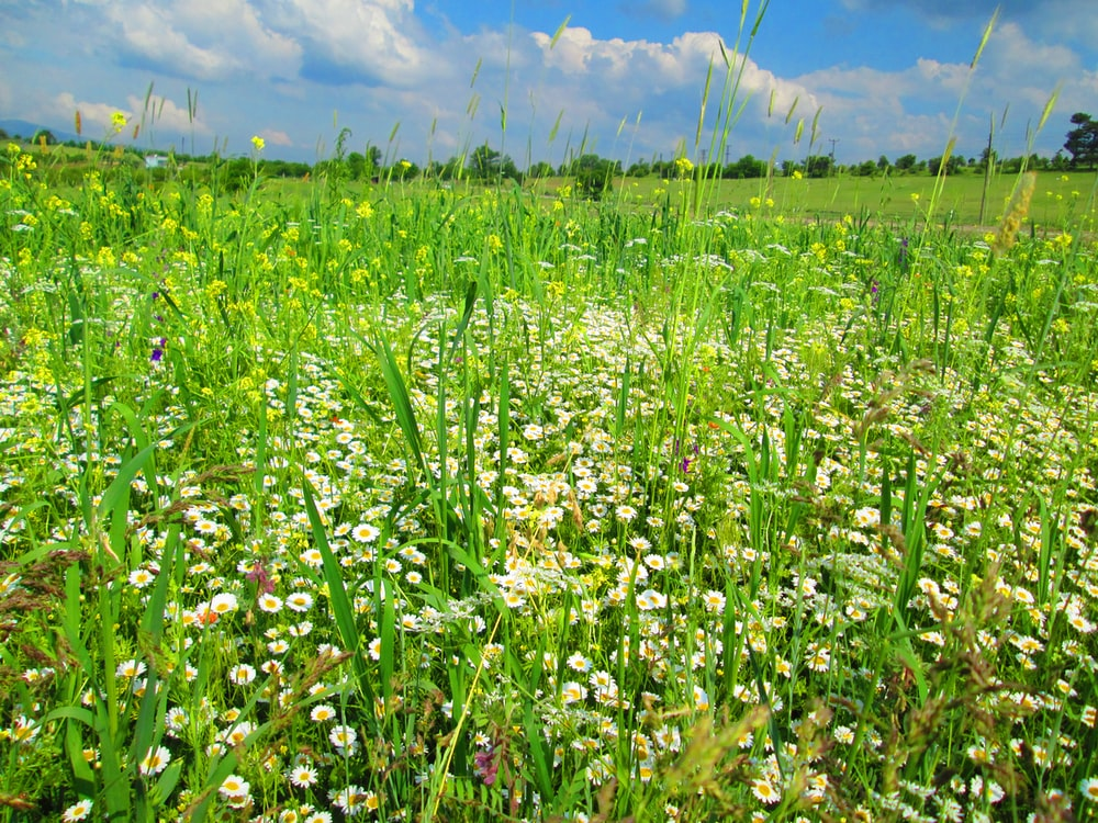 white-petaled flowers growing at the field