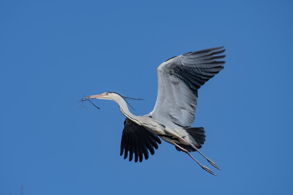 white and grey egret in flight