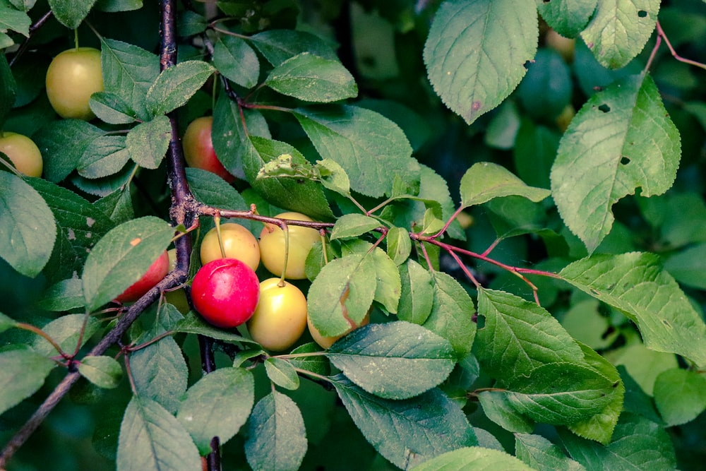 Red And Yellow Fruits Bearing Tree Photo Free Plant Image On