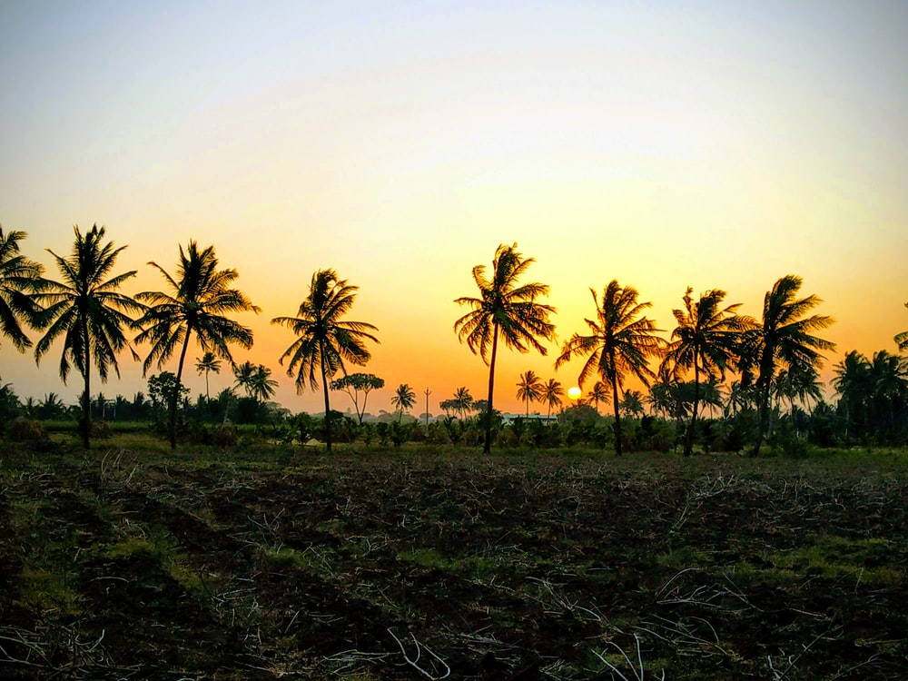 a row of coconut trees at sunset