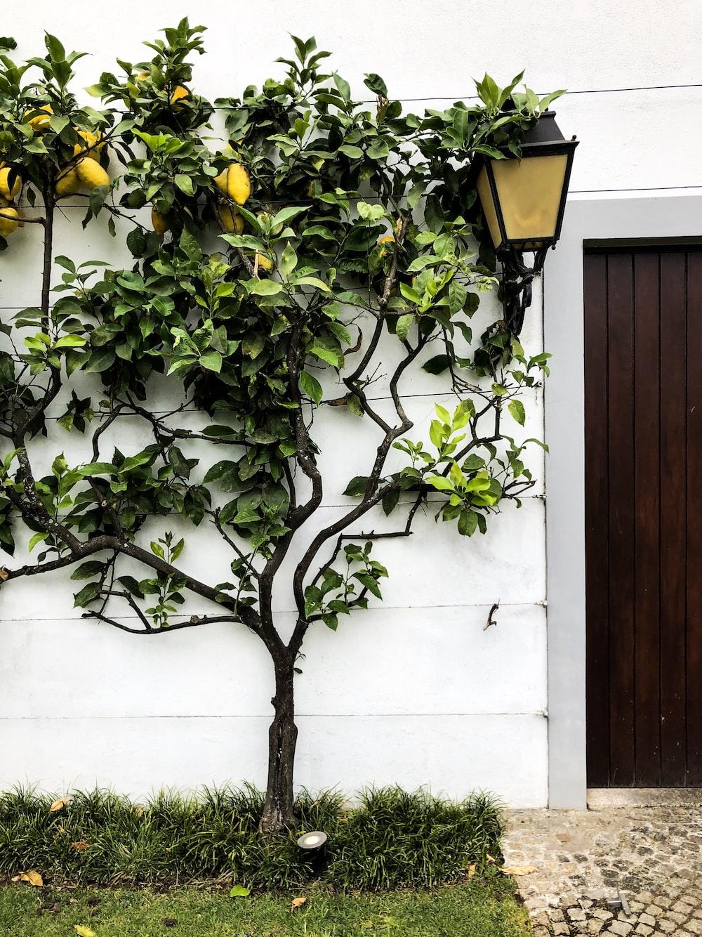 citrus fruit tree near wooden door