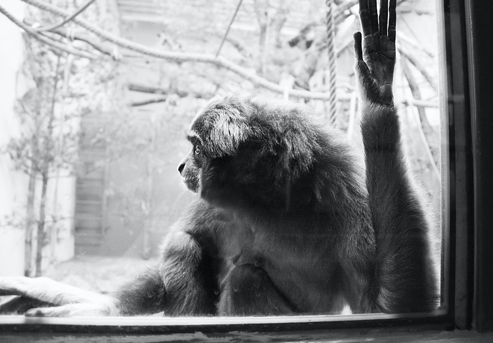 grayscale photography of monkey near window