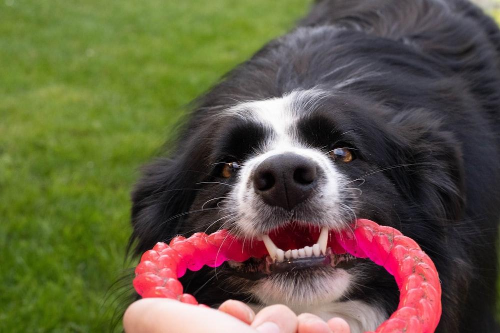 dog biting pink rubber