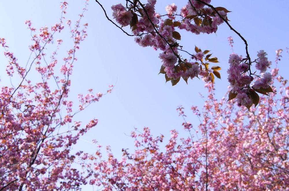 Prunus Kanzan Pink Cherry Blossom Tree Clarenbridge Garden Centre