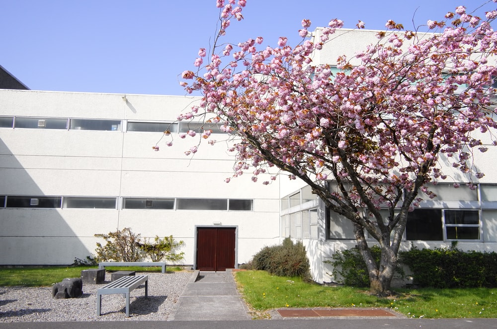 cherry blossom beside house