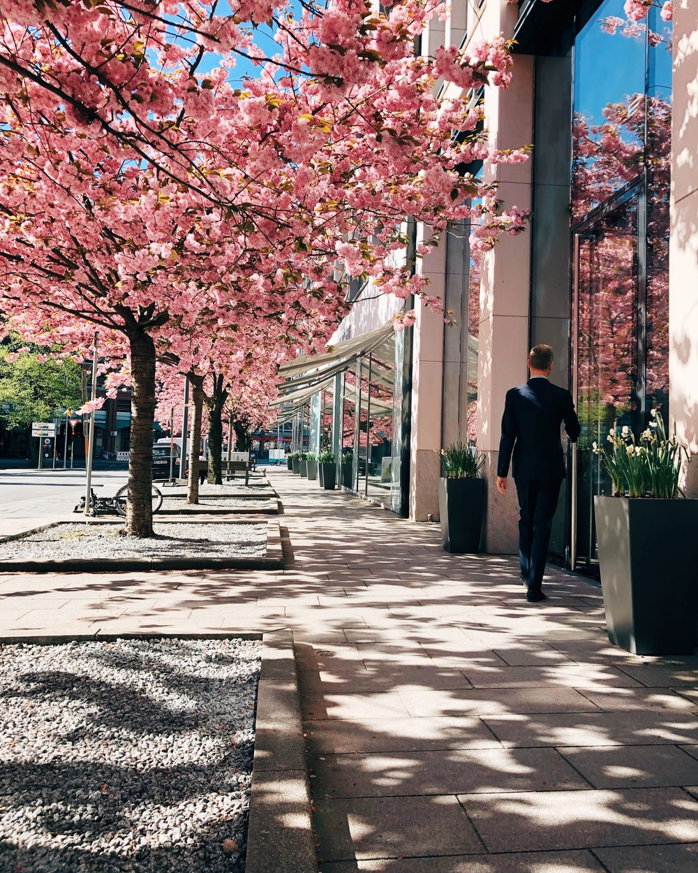 man walking near pink leafed tree