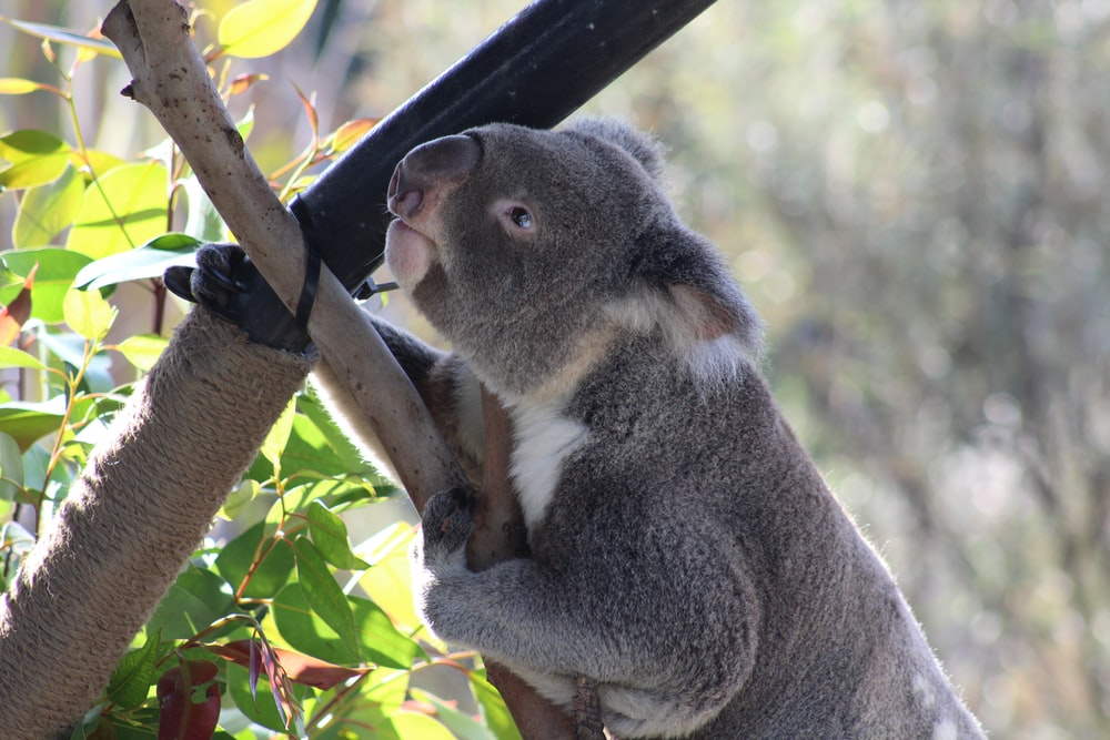 grey koala on tree branch in close-up photography