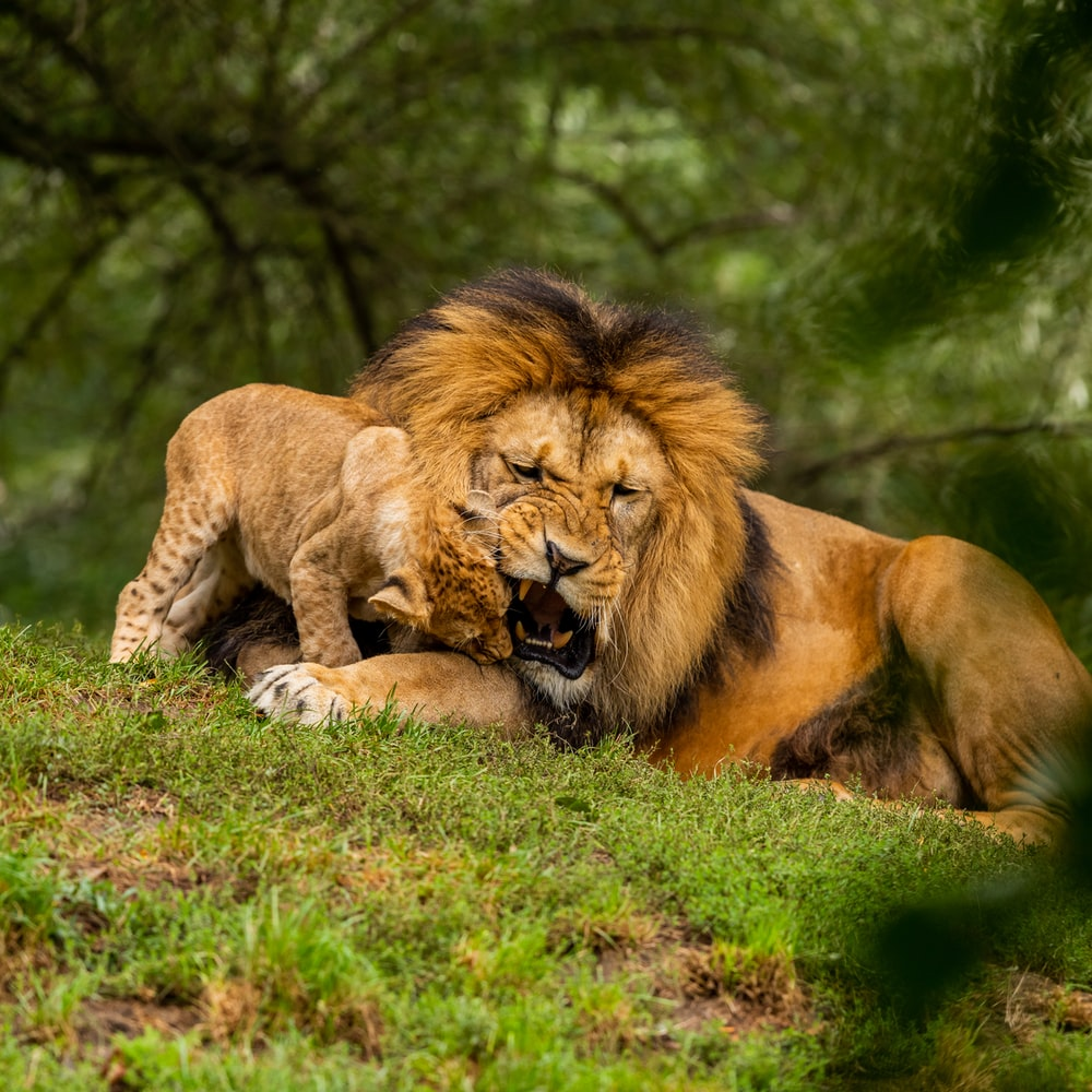 lion and lionees lying on grass field