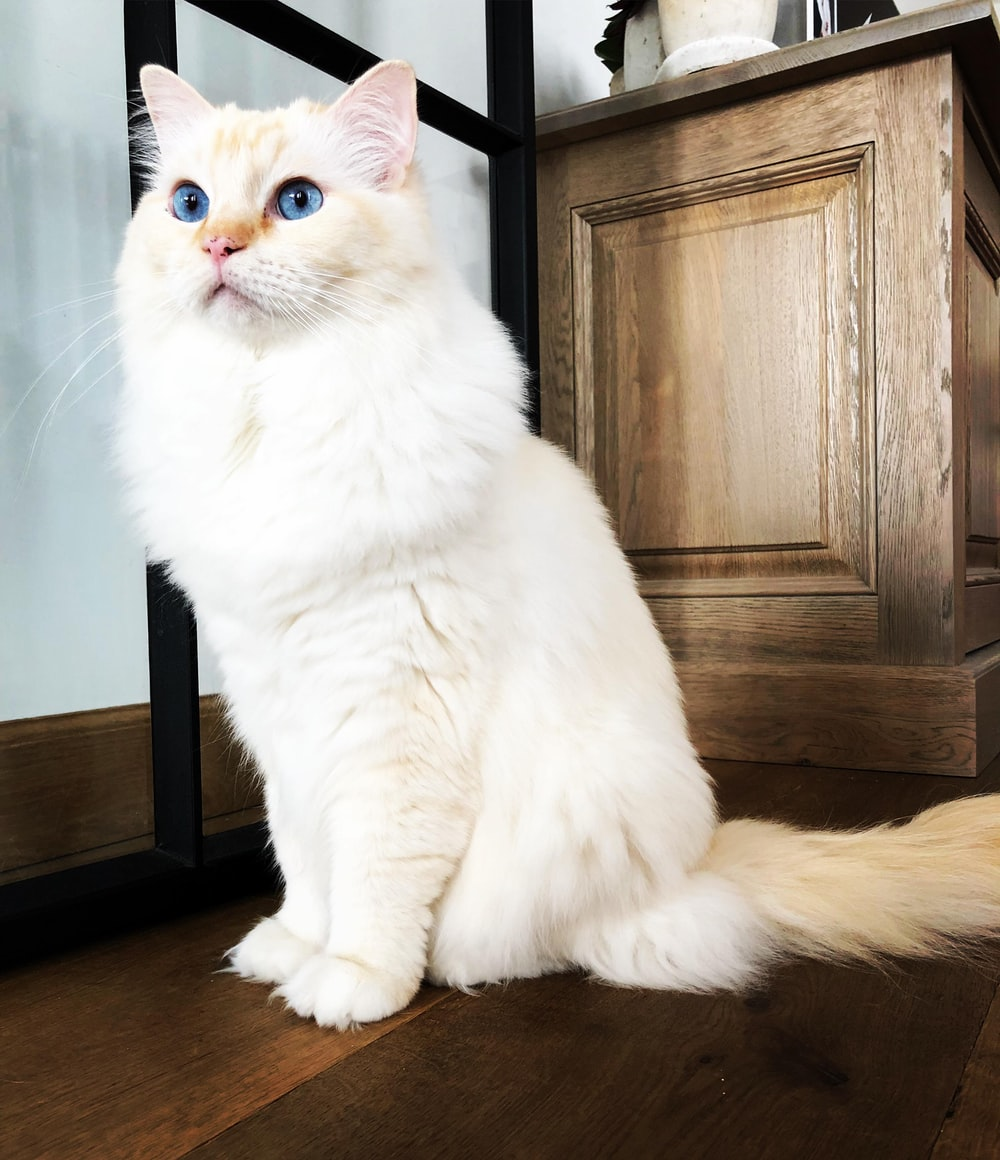 beige cat with blue eyes near cabinet
