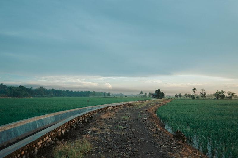 field of rice plants