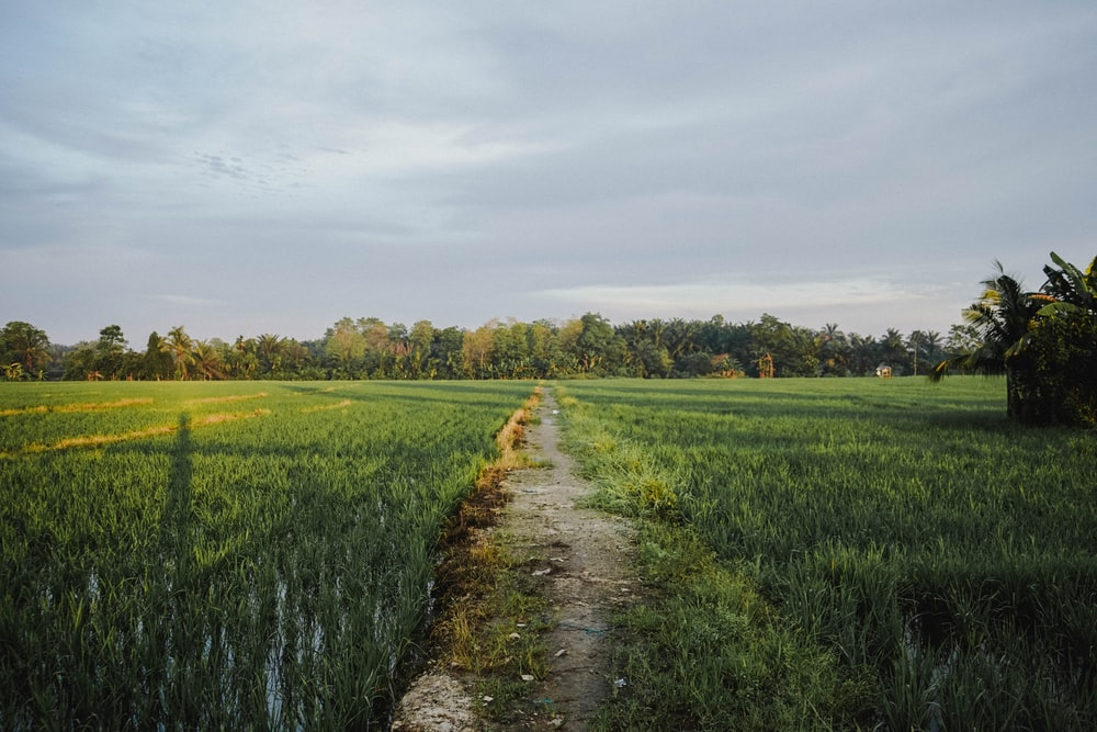 landscape photography of pathway along rice field