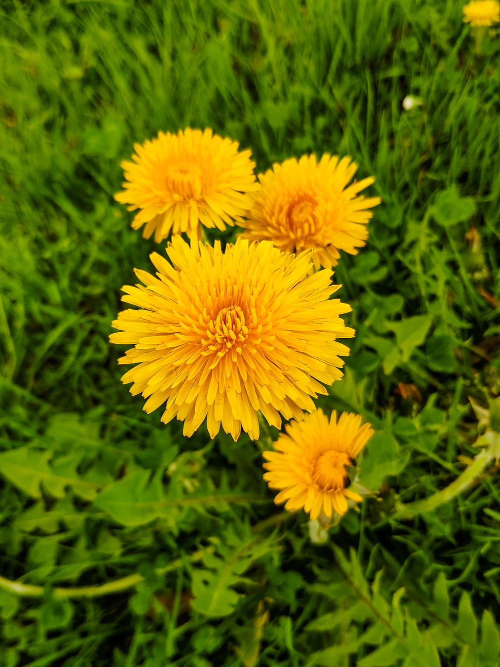 four yellow-petaled flowers