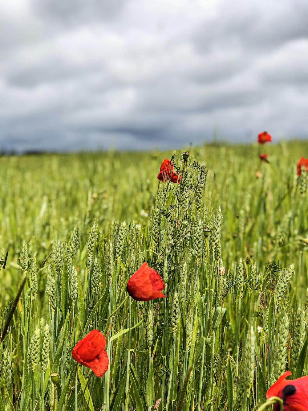 blooming red poppy flowers in green wheat field