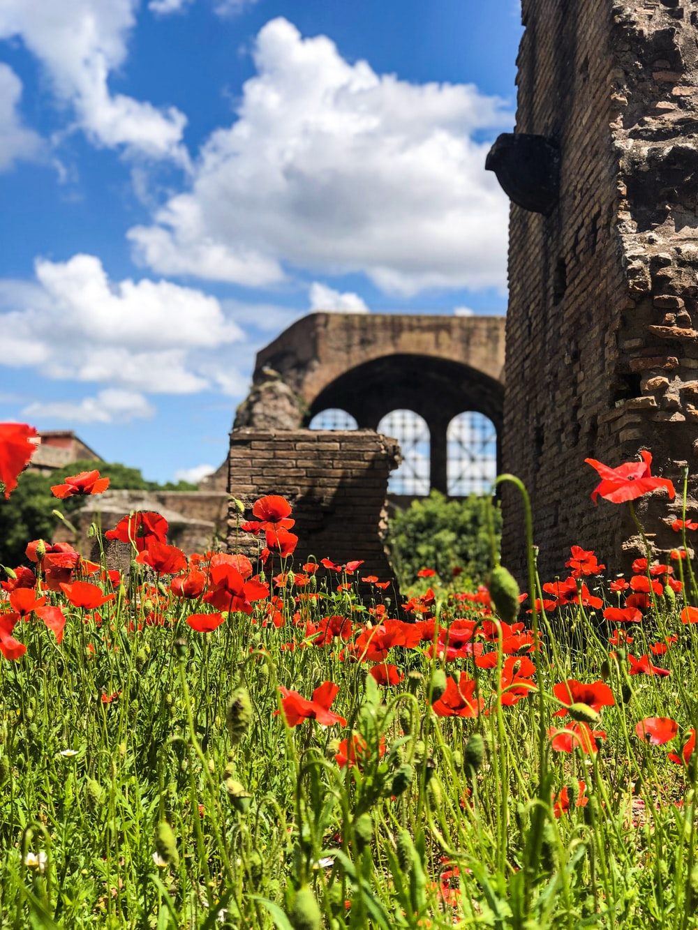 red flowers blooming on lawn by the ruins under white and blue cloudy sky