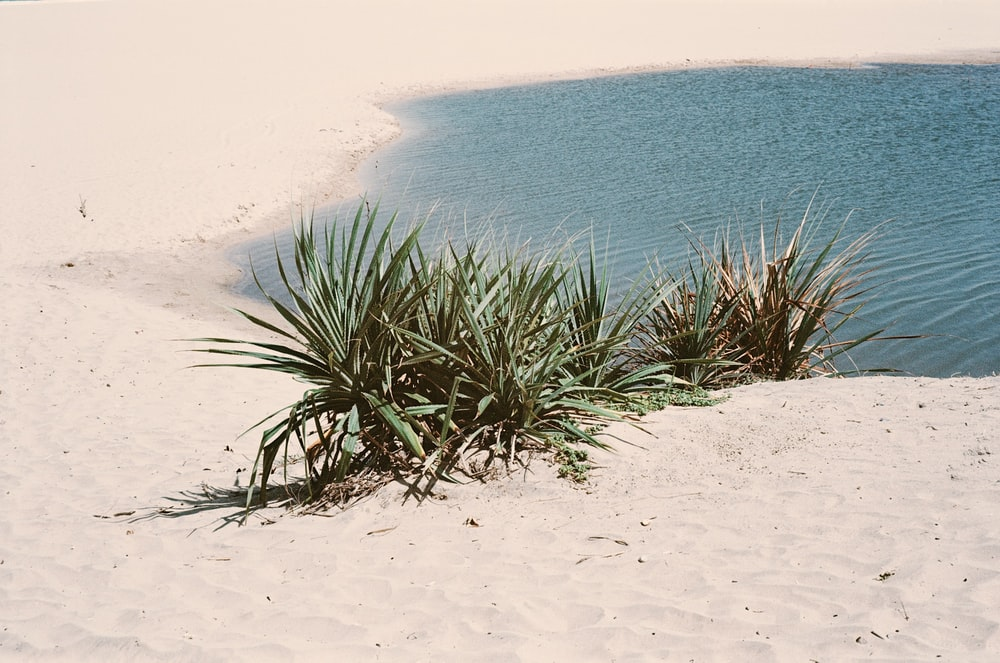 green grass on sand near body of water