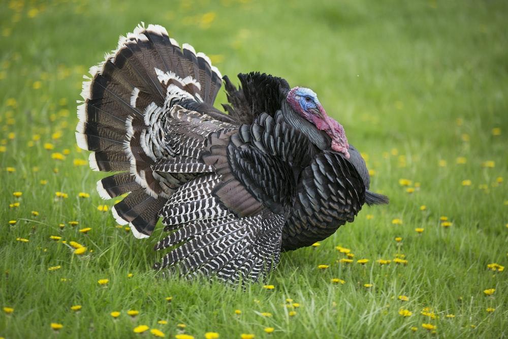 black turkey on grass