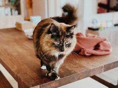 medium-furred calico cat