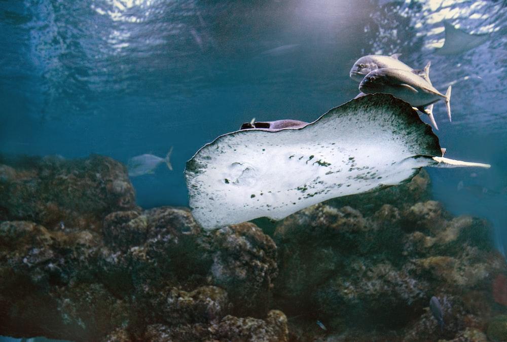 underwater photo of a manta ray