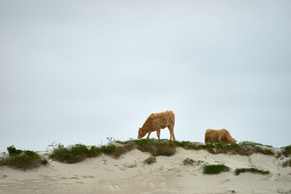 two beige cows on green grass