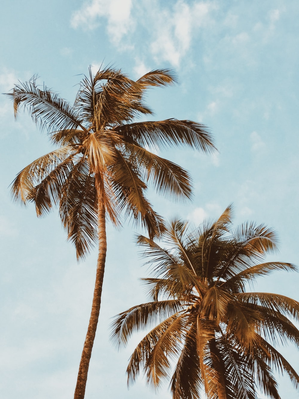 two coconut trees during day