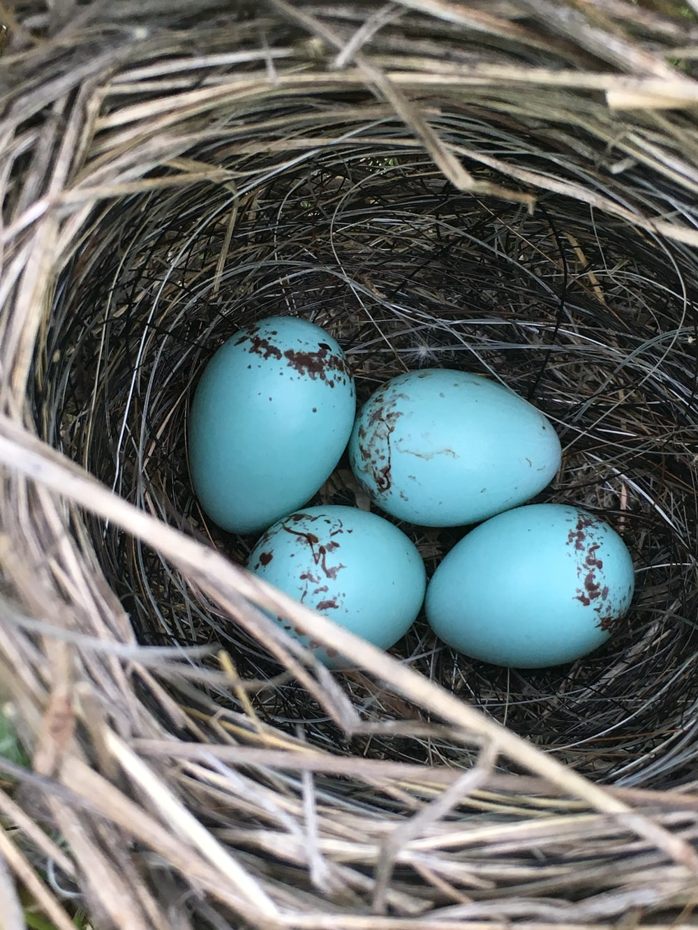 four blue eggs in nest