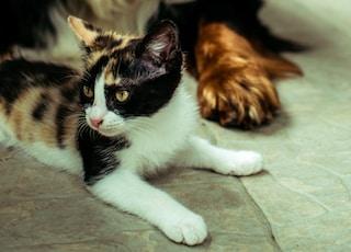 Cavalier King Charles dog near tortoiseshell cat
