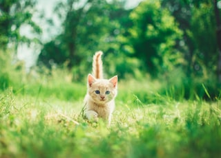 orange tabby kitten in grasses