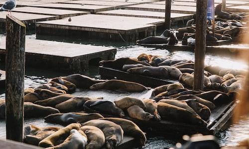 sea lion pickup line
