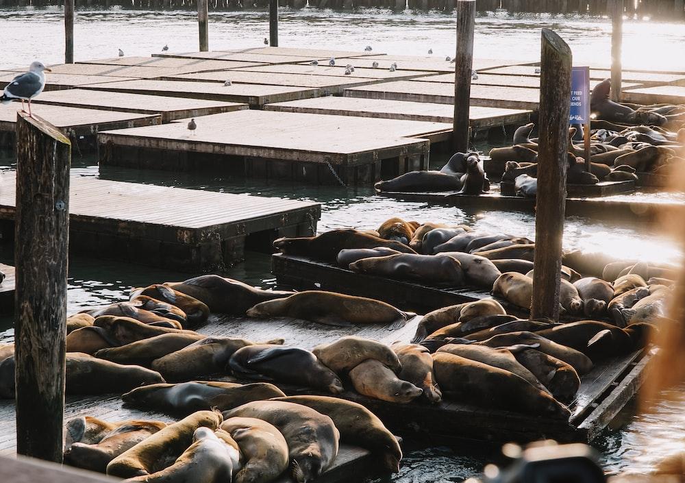 seals on brown dock
