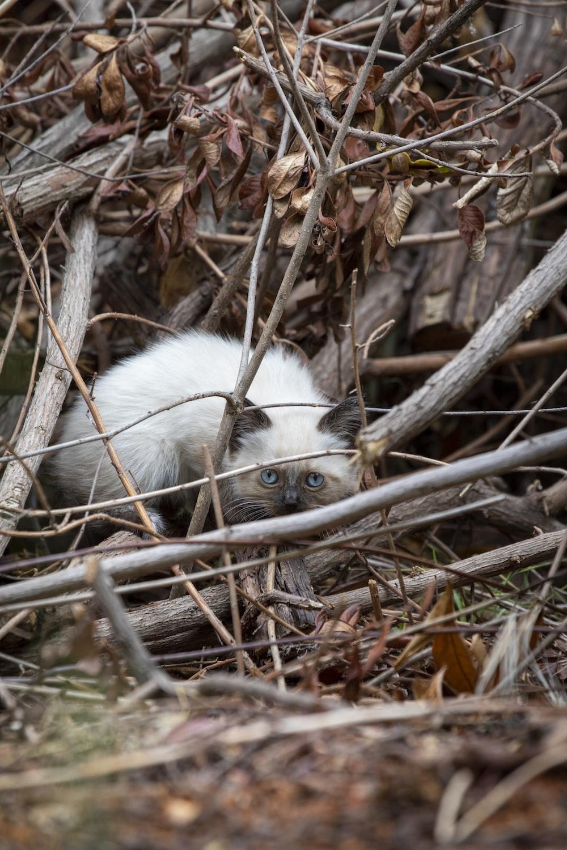 Himalayan kitten under branches