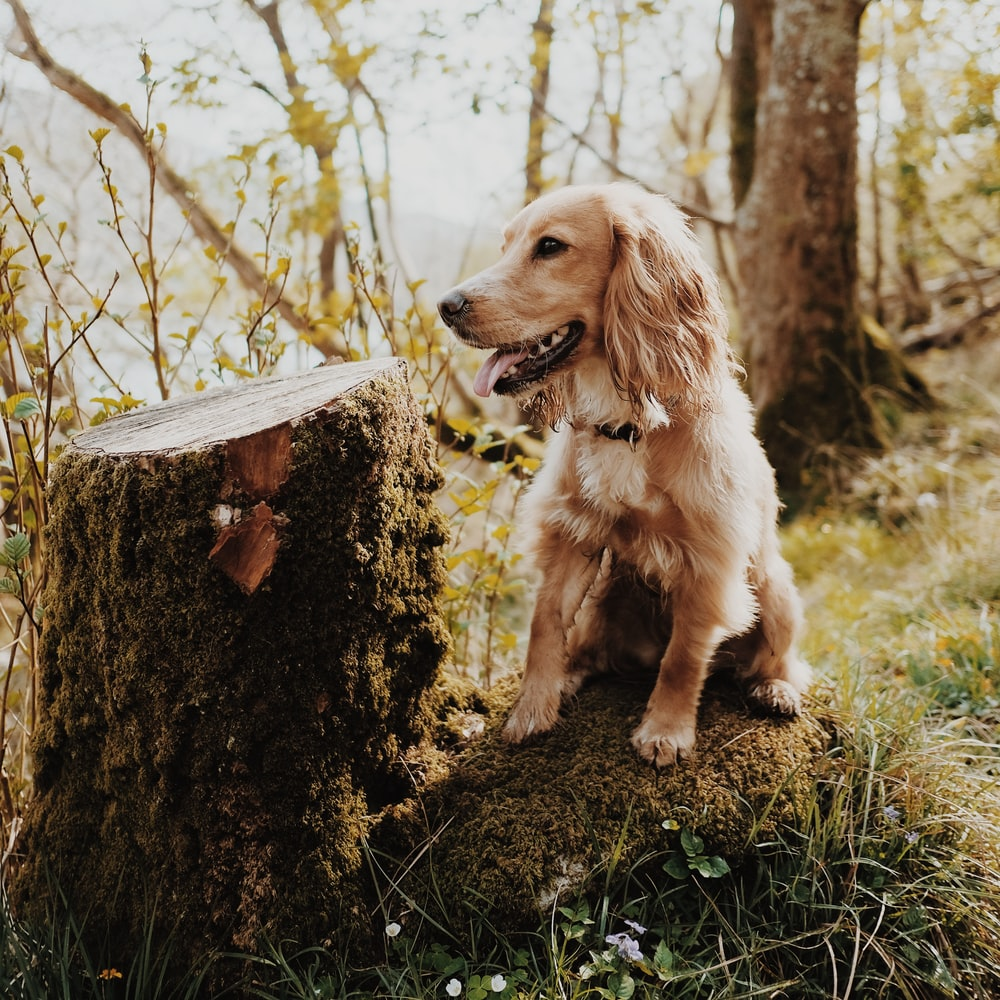 Golden retriever puppy sitting beside trunk