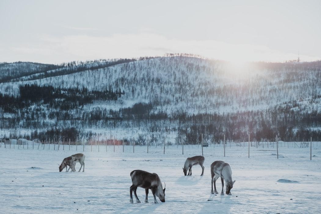 Reindeers, Tromso