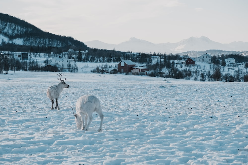 two white snow deers