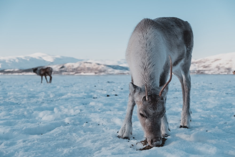 gray donkey standing on ground filled with snow